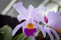 Kew Orchid Festival 2020